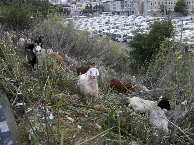 goats-at-muni-yard