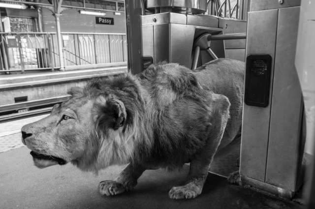 lion on subway thomas subtil